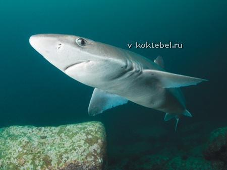 фото акула Катран в Черном море
