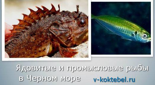 на фото ядовитые рыбы Черного моря